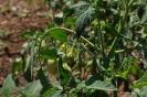 Flores de tomates