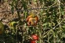 Granizo en Tomate