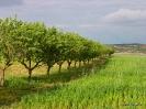 Almendros árboles y cultivos