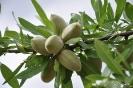 Frutos de Almendro
