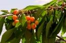 Cerezos cultivos