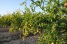 Cultivo de Granado