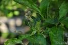 Manzanos Golden Delicius