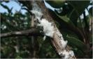 Pulgón lanígero del manzano