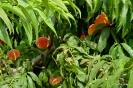 Momentos de desarrollo del cultivo de Melocotonero