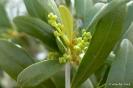 Momentos de desarrollo del cultivo de Olivo en regadío