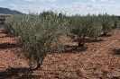 Olivos en Alpera