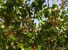 Cultivo de Pistacho