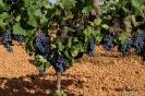 Racimos de uvas de viñas para vino