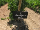 Sauvignon Blanco_1