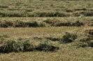 Alfalfa segada_3