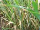 Helmintosporiosis rallada de la cebada - 1