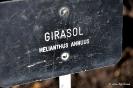 Girasol_1