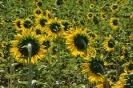 Girasol en floración
