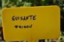 Guisante Frisón_1
