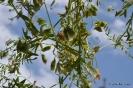 Lentejas vainas con frutos y hojas secas