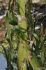Maiz con daños de granizo