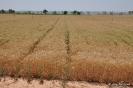Campo de trigo_3