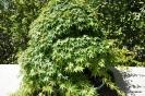 Acer Palmatum_2