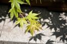 Acer Palmatum_3
