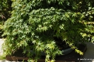 Acer Palmatum_7