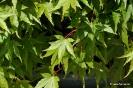 Acer Palmatum_8