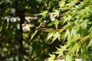 Acer Palmatum_9