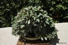 Bonsai Aleagnus Pungens