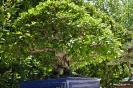 Bonsai Carpinus Turczaninovii