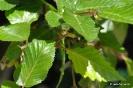 Bonsái Carpinus Turczaninovii_9