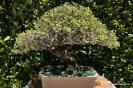Bonsai Encina
