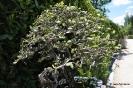 Bonsai Encina Quercus Ilex