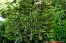 Bonsái Picea Glehnii_2