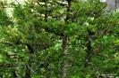 Bonsái Picea Glehnii_4