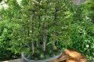 Bonsái Picea Glehnii_7