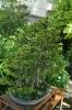 Bonsái Picea Glehnii_8