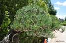 Bonsái Pinus