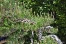 Bonsái Pinus Densiflora_11