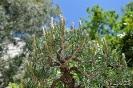 Bonsái Pinus Densiflora_12