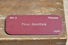 Bonsái Pinus Densiflora_1