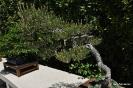 Bonsái Pinus Densiflora_2