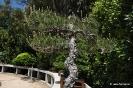 Bonsái Pinus Densiflora_3