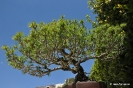Bosái Pinus Parviflora_4