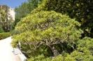 Bosái Pinus Parviflora_5
