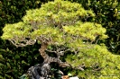 Bosái Pinus Parviflora_7