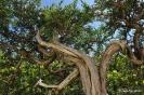 Bonsái Sabina Rastrera Juniperus Sabina