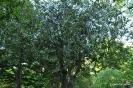Acebo ilex Aquifolium