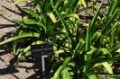 Agapanthus Agricanus_2