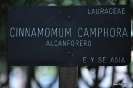 Alcanforero_1