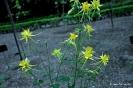 Aquilegia chysantha